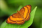 Mangrove Butterflies II