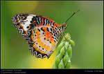 BSP Butterflies 060708 V