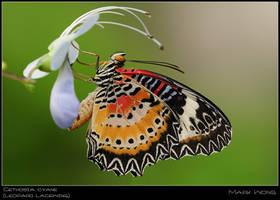 Cethosia cyane I by log1t3ch