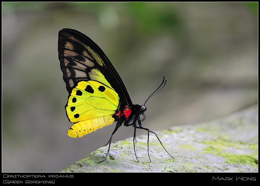Ornithoptera priamus Male III by log1t3ch