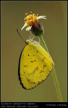 Eurema brigitta senna II
