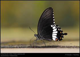 Papilio polytes romulus :M