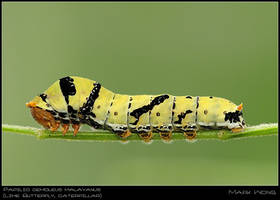 Papilio demoleus malayanus CAT