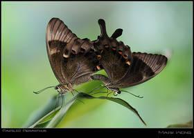 Papilio peranthus I