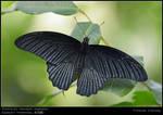 Papilio memnon agenor I
