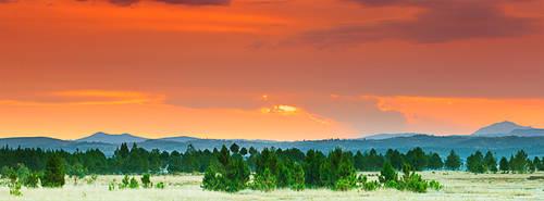 Pine forest under sunset