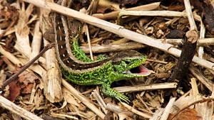 Lizard... by hadeeldar