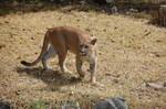 Cougar in Mexico