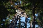 Wild giraffe