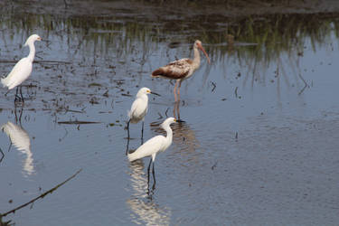 Ibis and Egrets (South Carolina) by conwaysuccess