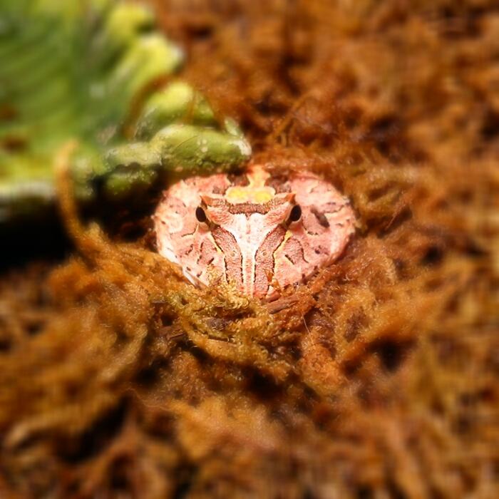 Fantasy pacman frog - photo#19