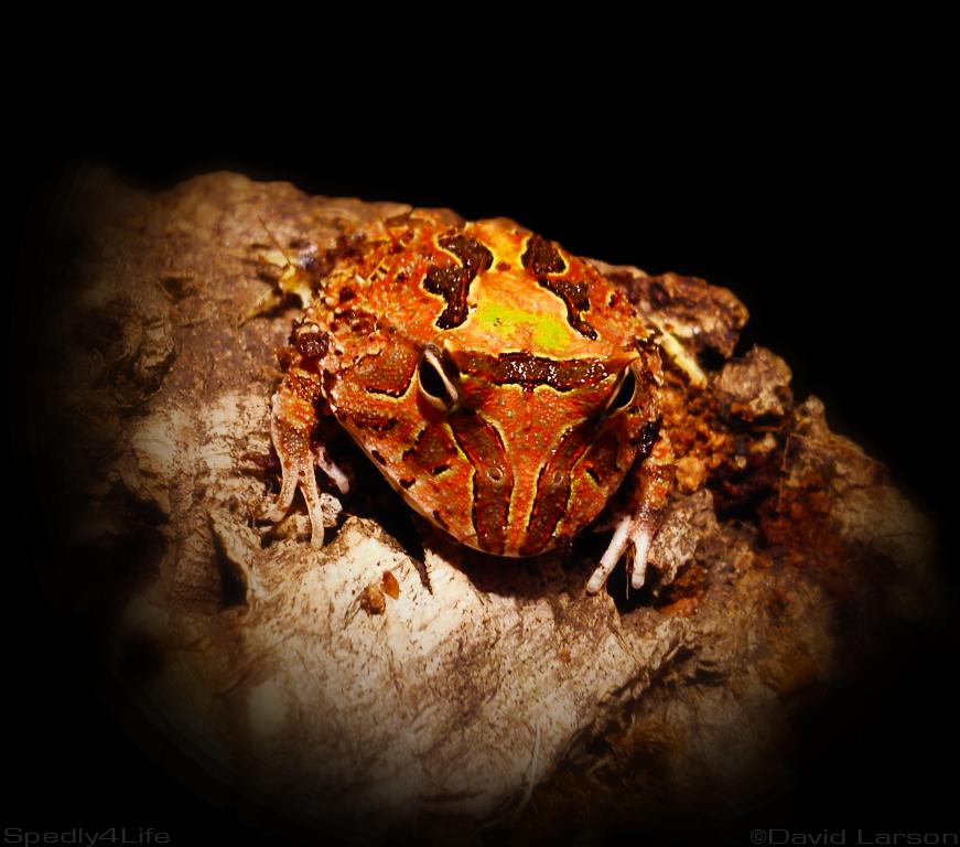 Fantasy pacman frog - photo#10