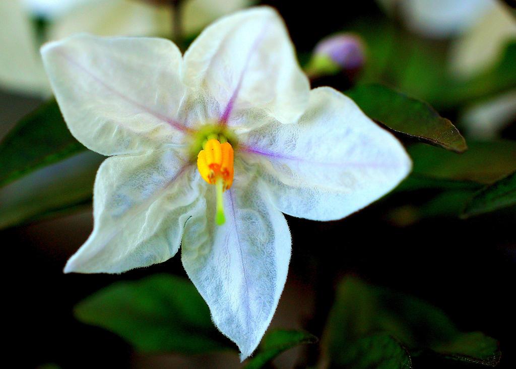 Translucent Petals by smfoley
