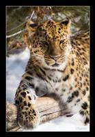 Amur Leopard ... by vbgecko