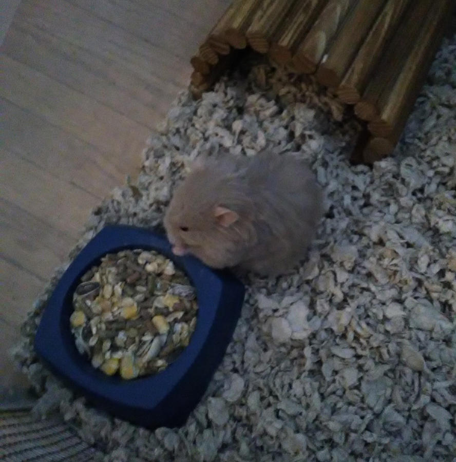 New Hamster by Shadazetrapp