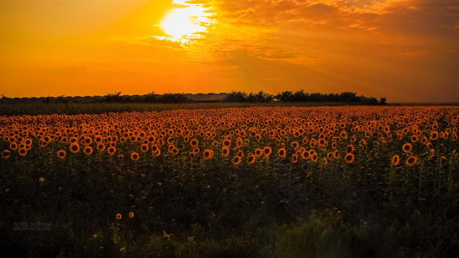 Good night, Sunflowers! by valiunic