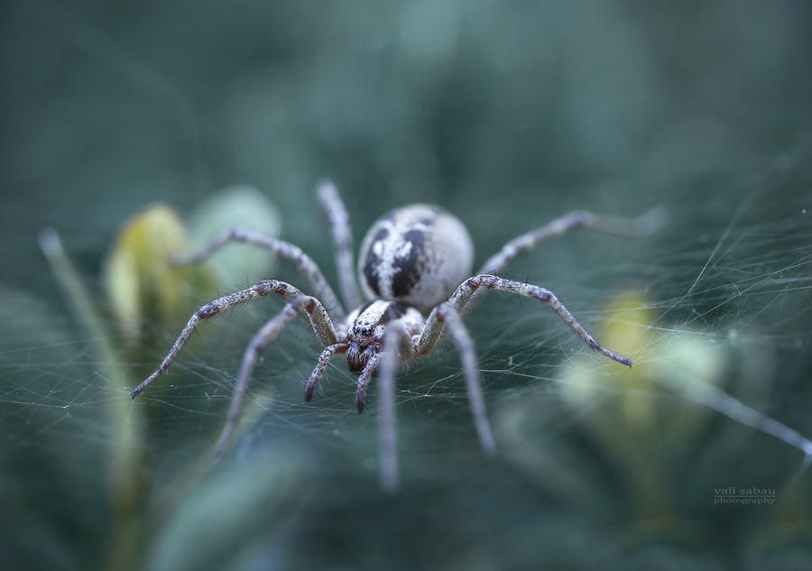 Spider by valiunic