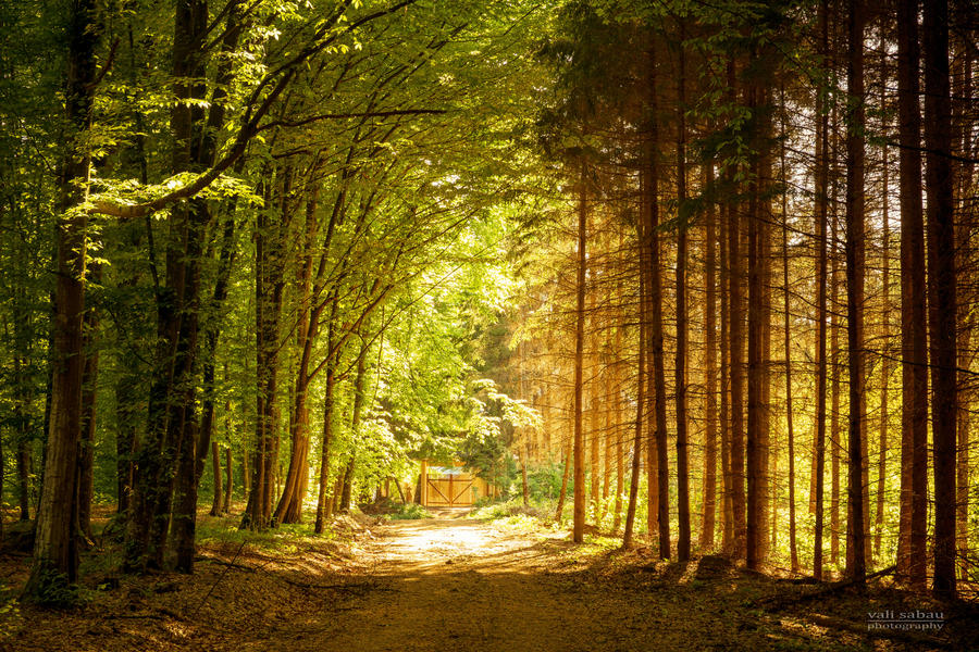 Road through the forest of beech and fir by valiunic
