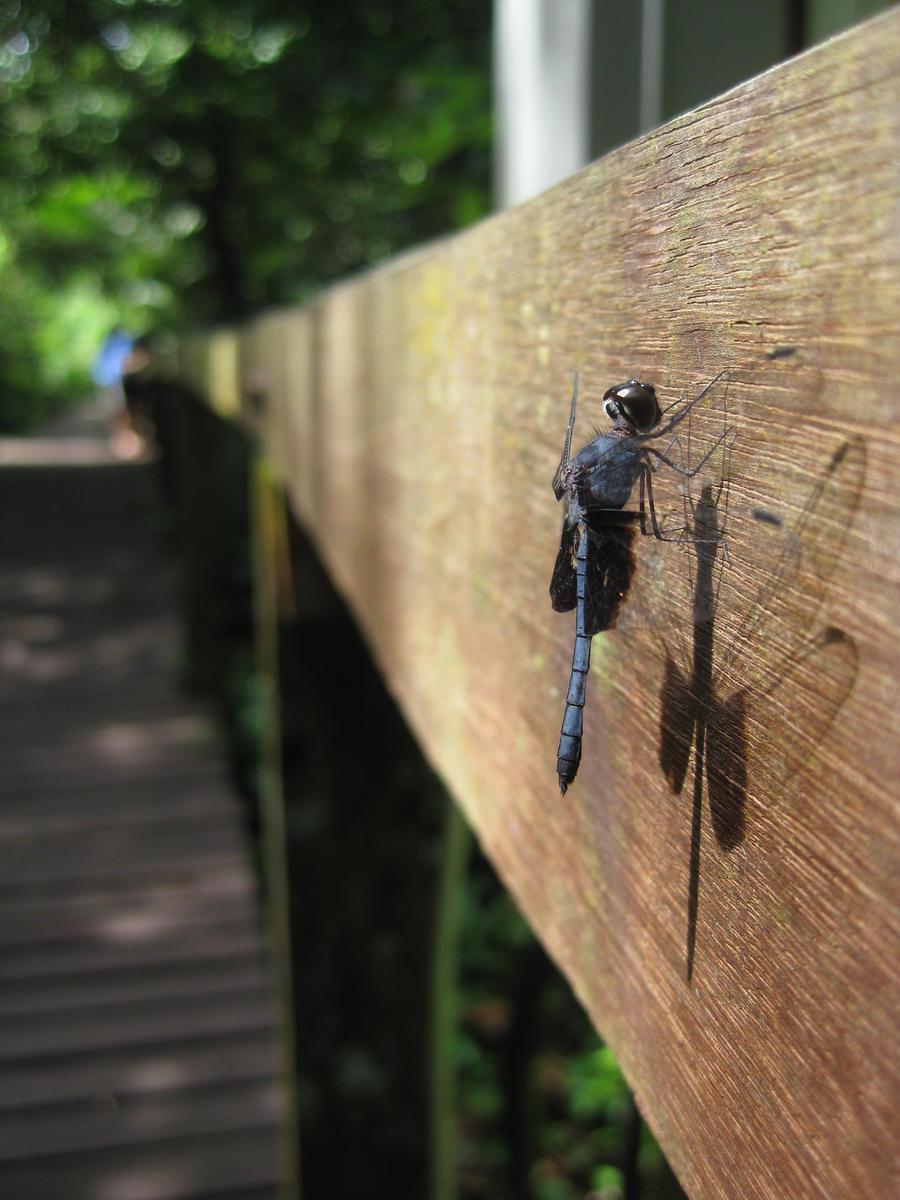 Dragonfly, Borneo