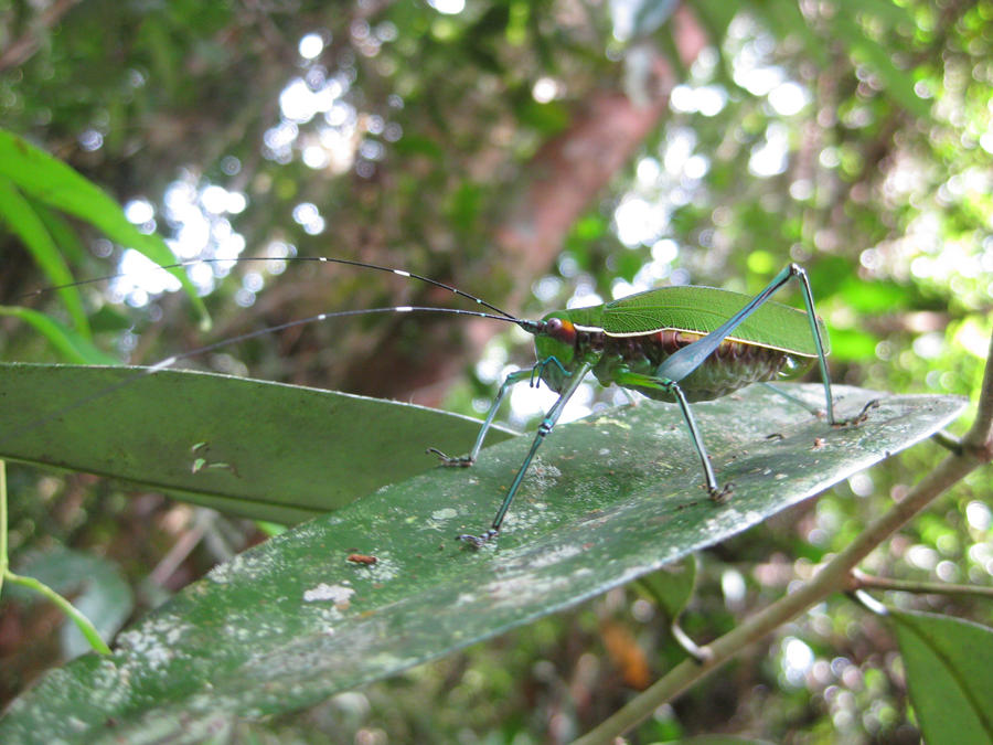 Borneo Insect