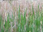 Green Reeds Stock