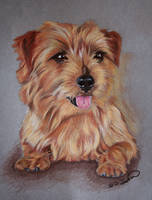 Norfolk Terrier by RTyson