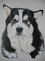Blizzard, Alaskan Malamute Dog