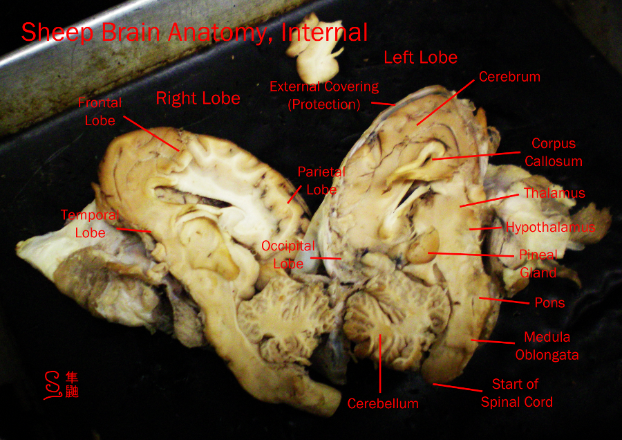 Sheep Brain Anatomy by Russockshitha on DeviantArt