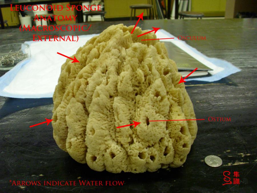 Leuconoid Sponge Anatomy by Russockshitha on DeviantArt