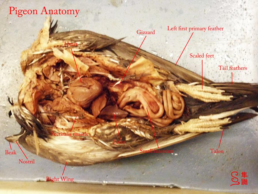 Internal Anatomy Of A Pigeon