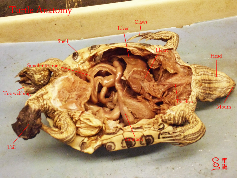 Turtle Anatomy by Russockshitha on DeviantArt