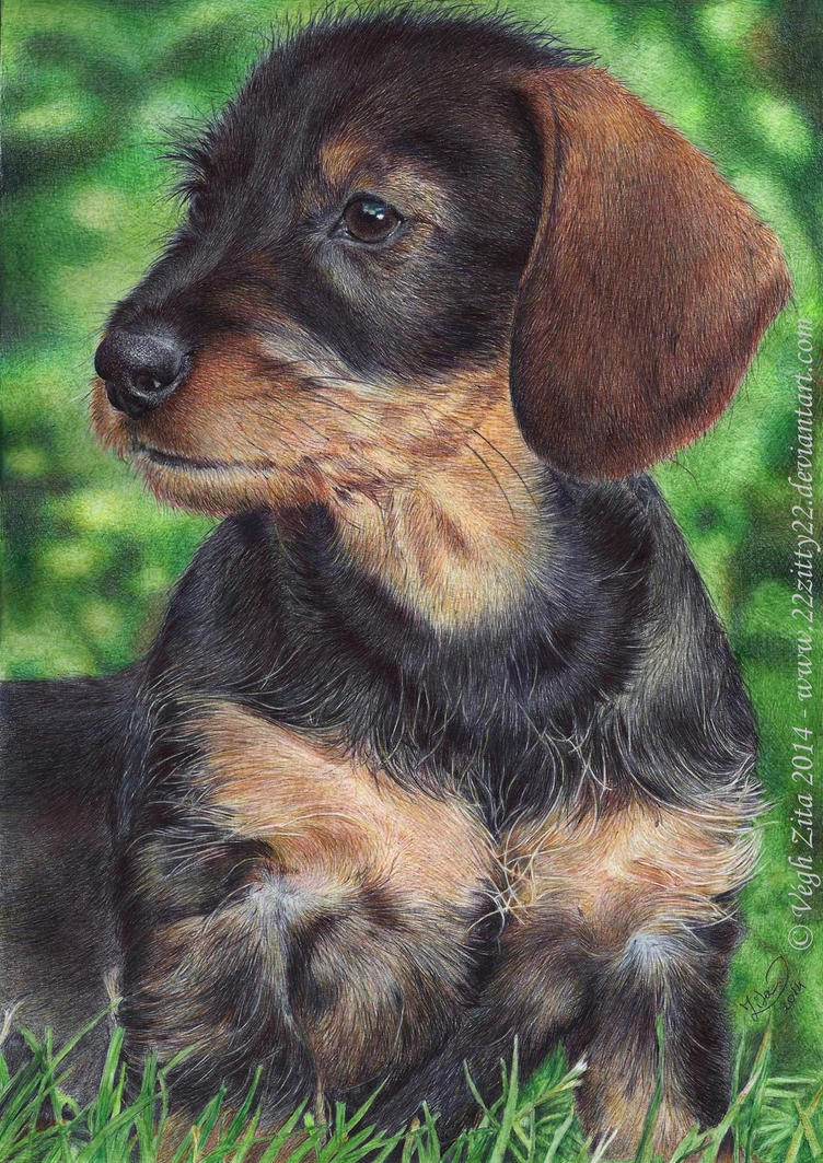 dachshund by 22Zitty22