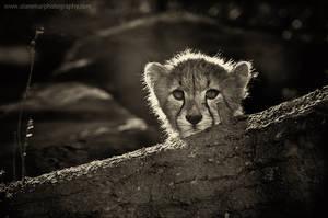 Small tiger by AL-AMMAR