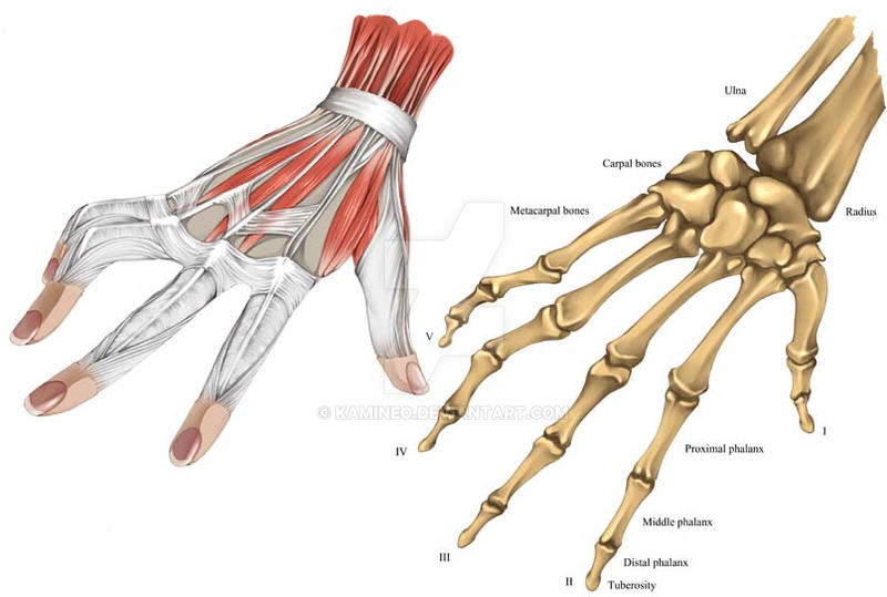 Right Hand Bones And Muscle By Kamineo On Deviantart