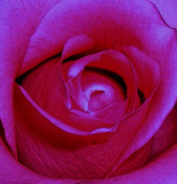 hyper rose