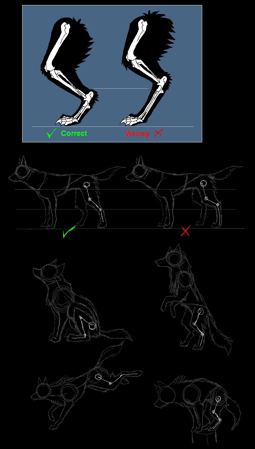 Canine anatomy: back legs by Ash-Dragon-wolf on DeviantArt