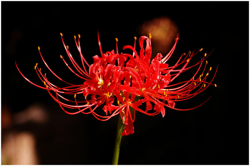 Red Spider Lily by Ryson725 on DeviantArt