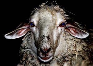 Psycho sheep