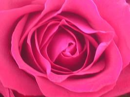 Pink Magenta Rose by vbrigitta