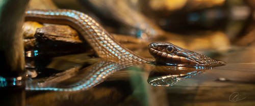 Redbelly Watersnake by cheslah