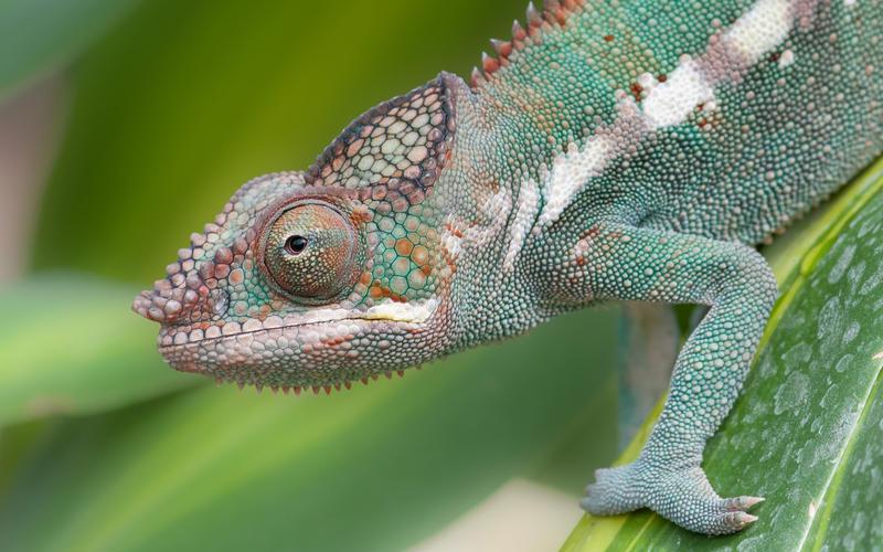 Chameleon by Gbrlit