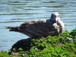 Seagull 05