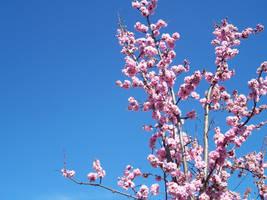 Cherry Blossom by venom-stock