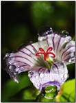 The Flower of droplets. by orionthehunter1971