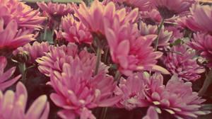Beautiful Dream Blossoms by Zorodora