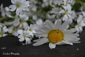 Picked Flowers by Zorodora