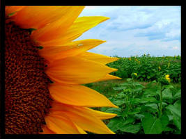 Sunflowers by MysteriousWoman