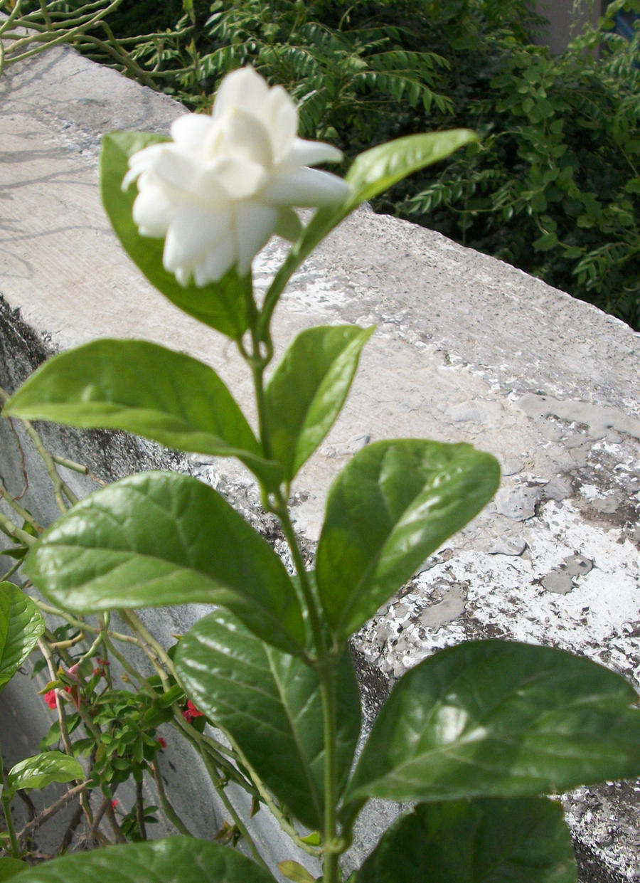 Mogra flower by parful on DeviantArt
