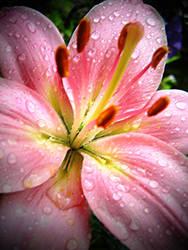Pink raindrops by AmberyFlower