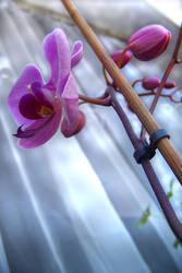 Orchidea by AmberyFlower
